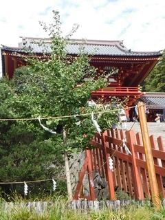 イチョウの木.JPG