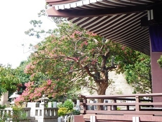 成福寺サルスベリ1.JPG