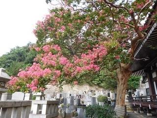 成福寺サルスベリ2.JPG