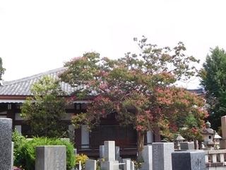 成福寺サルスベリ3.JPG