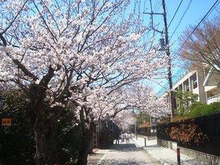 清泉小学校前桜並木.JPG