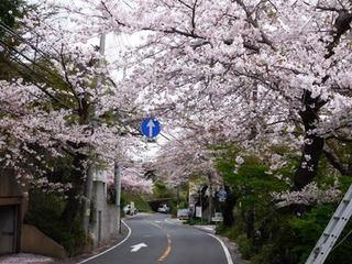 鎌倉山の桜並木.JPG