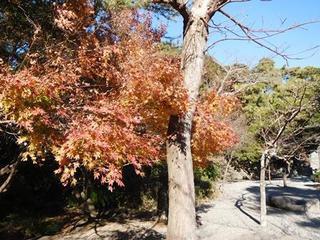 高徳院境内紅葉.JPG