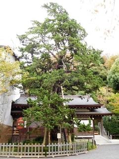 鶴岡八幡宮ビャクシン.JPG
