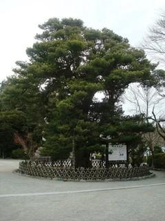 鶴岡八幡宮マキ.JPG