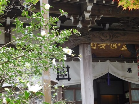 安国論寺サザンカ1.JPG