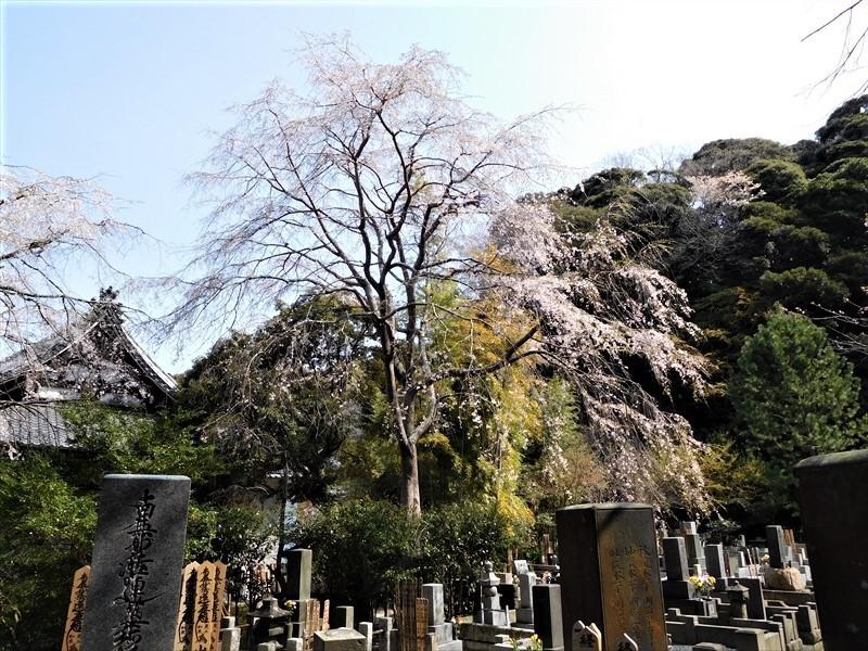 安国論寺シダレザクラ_R.JPG