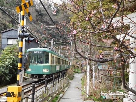 江ノ電とカワヅザクラ2.JPG