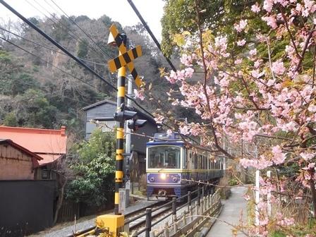 江ノ電御霊神社カワヅザクラ.JPG