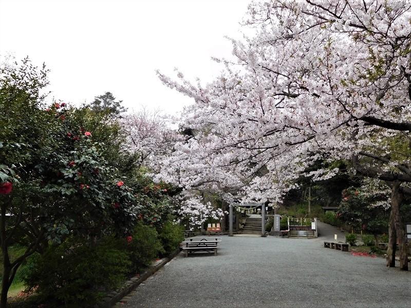 源氏山公園サクラ_R.JPG