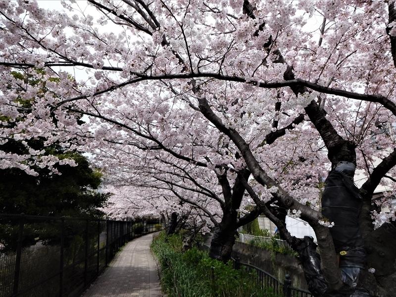 砂押川プロムナードサクラ_R.JPG