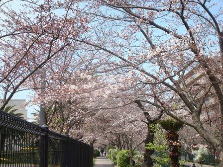 砂押川プロムナード桜並木.JPG