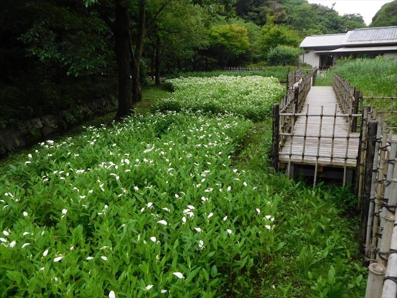 鎌倉中央公園ハンゲショウ1_R.JPG