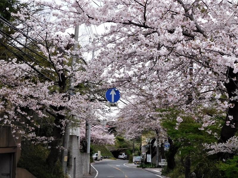 鎌倉山サクラ_R.JPG