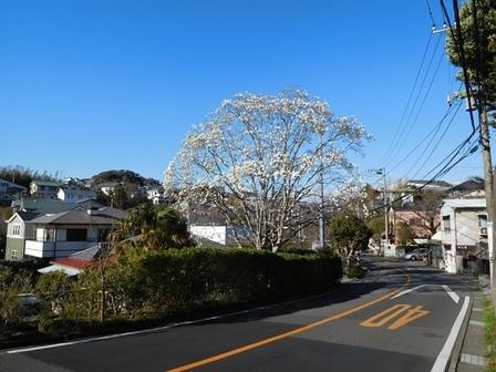 鎌倉山ハクモクレン1.JPG