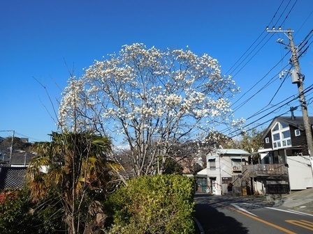 鎌倉山ハクモクレン2.JPG