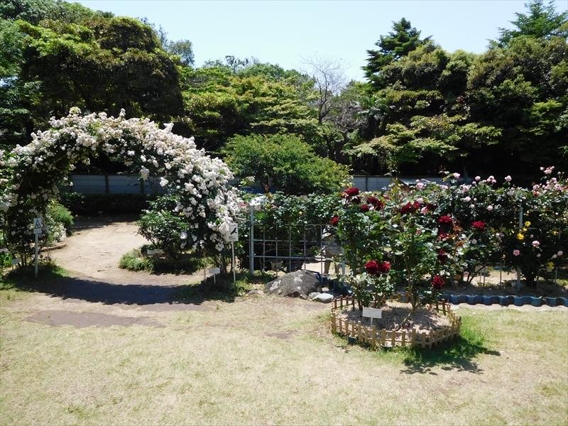 鎌倉文学館バラ2.JPG